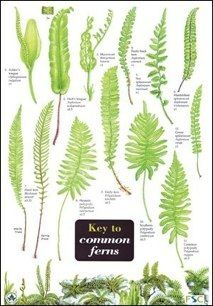 types of ferns 1 10 from 50 votes 5 54 picture pl ferns types of fern plants types of. Black Bedroom Furniture Sets. Home Design Ideas