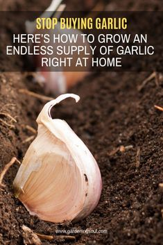 Stop Buying Garlic. Here's How To Grow An Endless Supply Of Garlic Right At Home Stop Buying Garlic. Here's How To Grow An Endless Supply Of Garlic Right At Home,Permaculture Garlic is a simple food that has strong healing properties. Growing Veggies, Growing Plants, Growing Onions, Growing Herbs Indoors, Growing Fruit Trees, Starting Seeds Indoors, Growing Tomatoes, Gardening Supplies, Gardening Tips