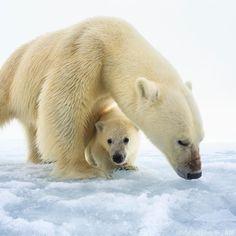 Polar Bears, Underwater Photography, Cubs, Female, Search, Animals, Research, Animales, Water Photography