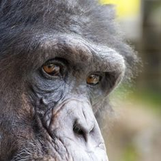 Gorgeous amber eyes of Regis the chimapanzee. This primate lives at Fauna sanctuary. NJ Wight / 500px