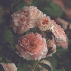Garden Blush Signed Print Roses Photo Cottage by MySweetReveries, $30.00