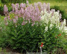 Dictamnus fraxinella habit - Dyptam jesionolistny pokrój
