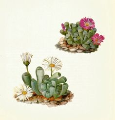 Bishops hat or mexican cactus astrophytum myriostigma 1861 bishops hat or mexican cactus astrophytum myriostigma 1861 naturalist pinterest cacti mexicans and botanical illustration fandeluxe Image collections