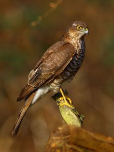 Sparrowhawk (Accipiter nisus). Seen in wooded habitats, suburban and rural.These birds usually nest in conifers.The sparrowhawk is an excellent hunter, it will hide under cover and then launch out at speed to catch prey (predominantly small birds) in its talons whilst it's in flight. #Birds #UK
