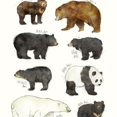 Pin de DanM dm en FAUNA | Pinterest | Osos, Animales y ... Bear Species Chart