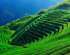 tea farm, Nantou #Taiwan 南投