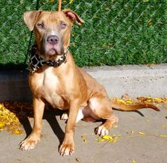 I'M TOTALLY IN TEARS💔💔 THIS IS SO ROTTEN EVIL AND INSANE💔💔💔 💔💔💔 MURDERED 10/31/16 💔💔 Manhattan Center BROOK – A1093997 MALE, TAN / WHITE, AM PIT BULL TER MIX, 3 yrs STRAY – STRAY WAIT, NO HOLD Reason STRAY Intake condition EXAM REQ Intake Date 10/19/2016, From NY 10463, DueOut Date 10/22/2016,