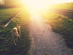 galgo español, spanish galgo, spanish greyhound, best friend