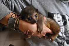 This is a kinkajou.  It's super cute.  Almost toooo cute.  But not quite.