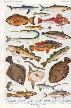 FISH vintage print Herring Sea Bream Garfish Flounder marine biology fish illustration. $9.95, via Etsy.