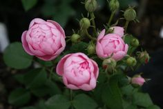 Raubritter - Ludwigs Roses | (Hyb. Macrantha) Clusters of large, globular, light pink blooms, arching shrub. Perennial Flowering Plants, Perennials, Beautiful Roses, Beautiful Flowers, Rose Reference, Ronsard Rose, Rose Varieties, Types Of Roses, Growing Roses