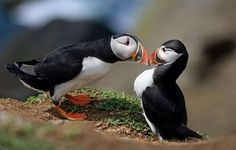 Kissing Puffins Cute Animals Kissing, Funny Animals, Adorable Animals, Most Beautiful Birds, Animals Beautiful, Love Photos, Cute Pictures, Desert Photography, Stunning Photography