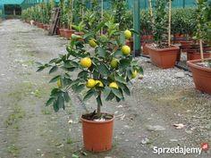 cytryna drzewo - Szukaj w Google