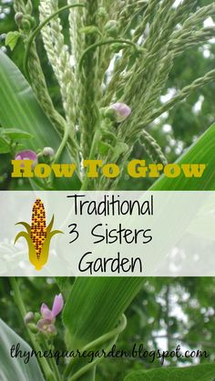 TSG: How To Grow Traditional 3 Sisters Garden