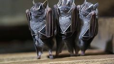 These bats who look like dainty little ladies holding up their skirts: