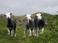 herdwick sheep - Google Search