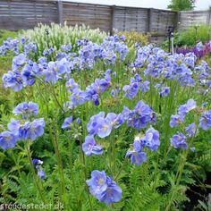 Polemonium caerulum 'Northern Lights'. Jacobsstige Northern Lights, Planters, Gardening, Patio, Lawn And Garden, Nordic Lights, Aurora Borealis, Plant, Window Boxes