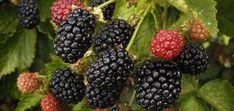 Chickasaw Blackberry Bush by Tree Nursery Company: www. Blackberry Plants, Blackberry Bush, Fruit Bushes, Fruit Plants, Rose Like Flowers, Growing Blackberries, Plants For Sale Online, Organic Soil, Planting Vegetables