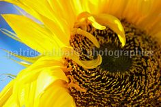 Sunflower Photo Fine Art Photography Flower by PatrickRabbatPhotos