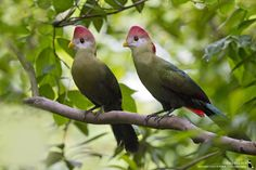 https://flic.kr/p/nsdntP | _0052924ca1 | Red-crested Turaco 红冠蕉鹃 (Tauraco erythrolophus)