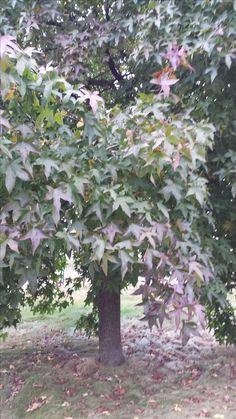 Prachtige bomen aan de Arnoud van Gelderweg Grave