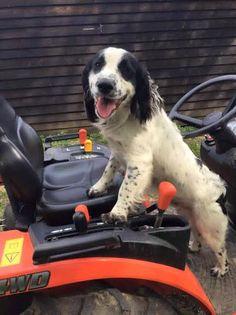 Working Cocker Spaniel Alf #spaniel #workingdogs #dogs #countryside #farming #rural