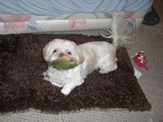 Buttons is my squeaky-toy-a-holic! #welovewhitepets