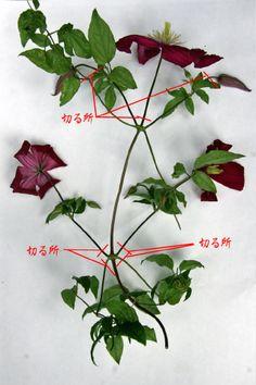クレマチスを、挿し芽で殖やしてみましょう クレマチスの挿し芽は、春~初夏にかけてです。 気温が、20~25℃の頃が一番良いですよ。 挿し穂に使う枝は、春から伸びた若い枝が、やや硬くなり始めた物を、使います。 この写真では、1節目を使っていますが、1節目が柔らかすぎる時は、2節目か... Garden Gates, Clematis, Herbs, Flowers, Plants, Gardening, Kitchen, Lawn And Garden, Cooking