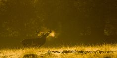 Red deer stag back lit at dawn. Back lighting works exceptionally well during the golden light of dawn. This is my favourite time for deer photography. Wildlife Photography Tips, Deer Photography, Red Deer, Dawn, Lighting, Deer, Light Fixtures, Lights, Lightning