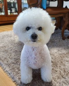 Cortes Poodle, Dogs And Puppies, Marvel, Animals, Animales, Animaux, Animal, Animais
