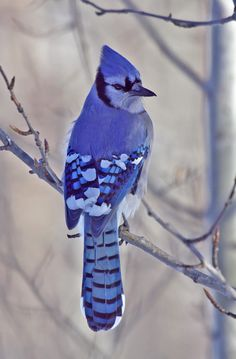 """The Winter Blues"" ~ Blue jay, Elk Island National Park, Canada | Denis Mark.on TrekNature"