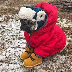 Pug winter ready
