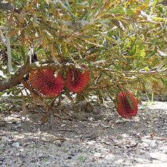 Native to Western Australia. Banksia caleyi, known as the Red lantern Banksia has spectacular reddish maroon inverted flower spikes occurring in spring.