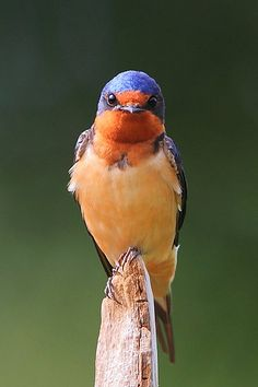 Barn Swallow (Hirundo rustica) is the most widespread species of swallow in the world. It is a distinctive passerine bird with blue upperparts, a long, deeply forked tail and curved, pointed wings. It is found in Europe, Asia, Africa and the Americas.