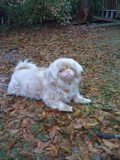 Pictures of Pekingese Dog Breed