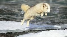 If you want to know the animals which can live in a snow, look at the arctic fox facts. Many people call these animals as white foxes. Arctic Fox Facts, Arctic Animals, Cute Animals, Quokka, Arctic Circle, Fox Art, Wild Dogs, Album, Orangutan