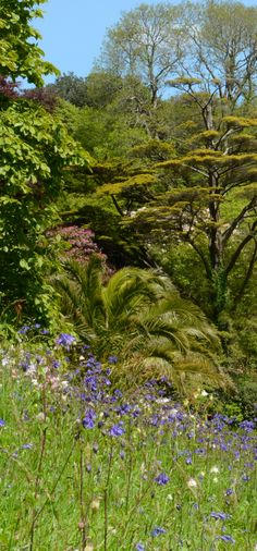 Sunny banks of #wildflowers at #Glendurgan on a bright #spring day