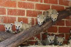 These Coatis are the cutest!