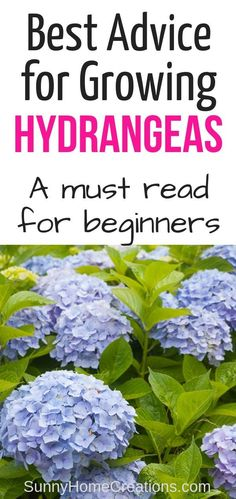 hydrangea garden care If you are a beginner gardener here is some must read care and growing advice and tips on hydrangeas. These flowering shrubs have beautiful flowers in blues, whites, pink and more. Pruning Hydrangeas, Hydrangea Shrub, Hydrangea Care, Planting Flowers, Growing Hydrangea, Flower Gardening, When Do Hydrangeas Bloom, Potted Flowers, Shade Flowers