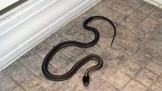 How to get rid of a snake in the house