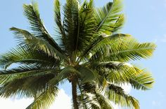 Looking up at a palm tree and blue sky. #SouthBeach #Miami #Florida Coconut Oil Hair Growth, Coconut Oil For Teeth, Benefits Of Coconut Oil, Hair Growth Oil, Montpellier, Oil For Hair Loss, Skin Care Routine Steps, Palmiers, Carrier Oils
