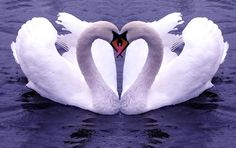 A swan's feather, sewed into the husband's pillow, will ensure fidelity.