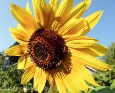 Good morning sunflower.