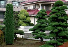 chamaecyparis obtusa nana as bonsai - Bing images Trees And Shrubs, Trees To Plant, Small Gardens, Outdoor Gardens, Lawn And Garden, Garden Art, Hinoki Cypress, Japan Garden, Unique Trees