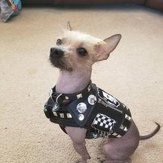 Custom Faux Leather Dog Jacket Size X Small size 8 Baby Chihuahua, Love Dogs, Dog Jacket, Dog Coats, Pet Beds, Pet Clothes, Faux Leather Jackets, Dog Accessories, Vegan Leather