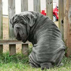 Neapolitan Mastiff....can you just die over those folds of skin???!!!