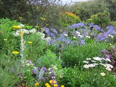 66 Square Feet (Plus): Agapanthus border Shasta Daisy Queen Anne's Lace Coreopsis and . Meadow Garden, Cottage Garden Plants, Garden Club, Garden Ideas South Africa, Dutch Gardens, Small Yard Landscaping, Agapanthus, Herbaceous Border, Daisy