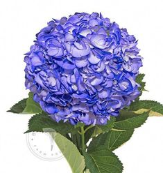eb55a7bc6e8ce These painted hydrangea combo packs with vibrant and fun colors, offer the  possibility to create