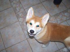 Small Hachi, Akita Inu puppy