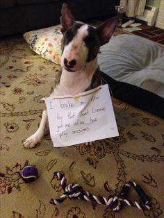 """""""I broke my new toy that Aunt Lizzie got me after two play sessions."""" ~ Dog Shaming shame - Bull Terrier - NOW has TWO toys!"""